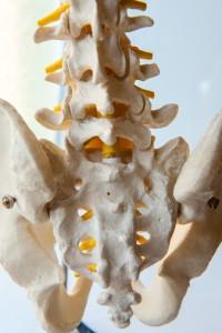 model of sacroiiac joints, pelvis and lumbar spine